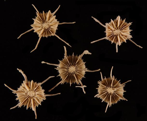 Stephanocyathus (A.) spiniger, a solitary, deep-water stony coral species, has six long spines that slow it from sinking into soft substrates.