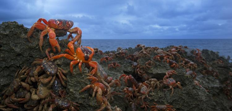 """The largest land migration of any animal on Earth, as many as 120 million crabs carpet the island in red as they move from the rain forest to the coast."" -- Nature's Best photographer, Stephen Belcher.Equipment Used to Capture the Shot:   Canon EOS-1D"