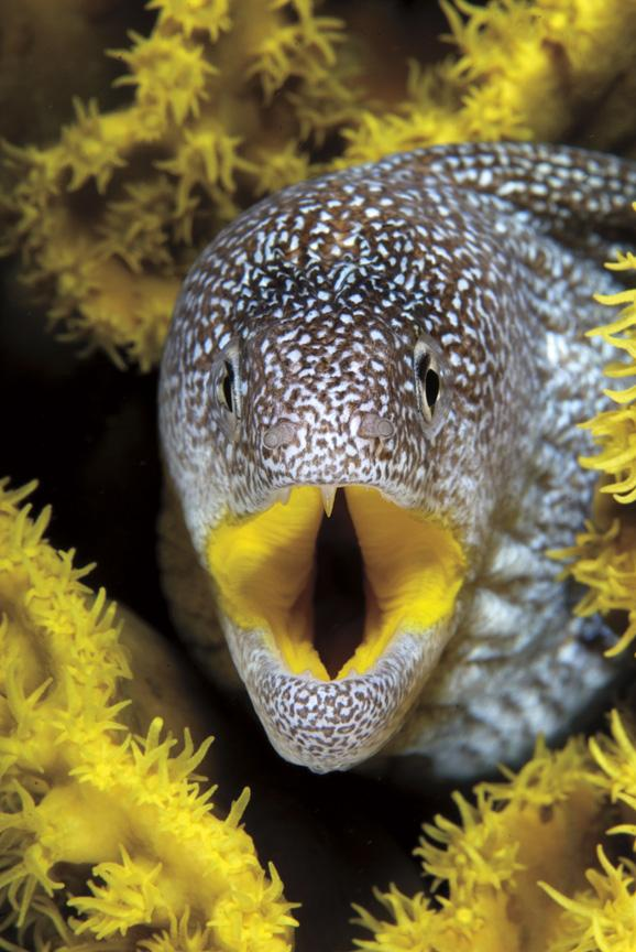 An underwater photo of a yellow-mouth moray eel.