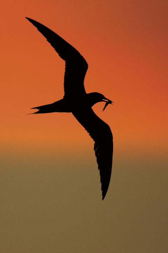 A photo of a tern's silhouette against an orange sky.