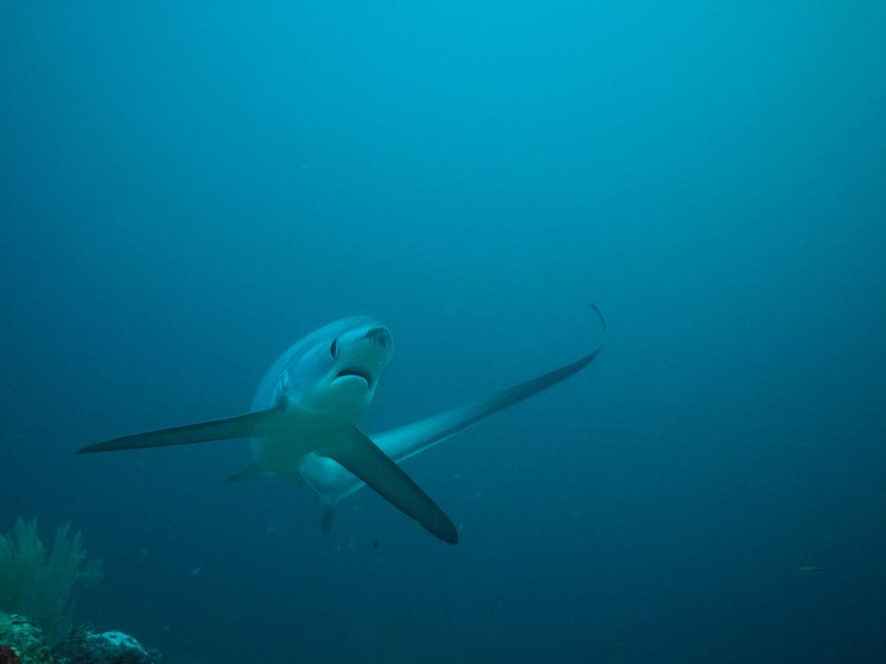 A thresher shark uses its unusual tail fin for swimming and hunting.