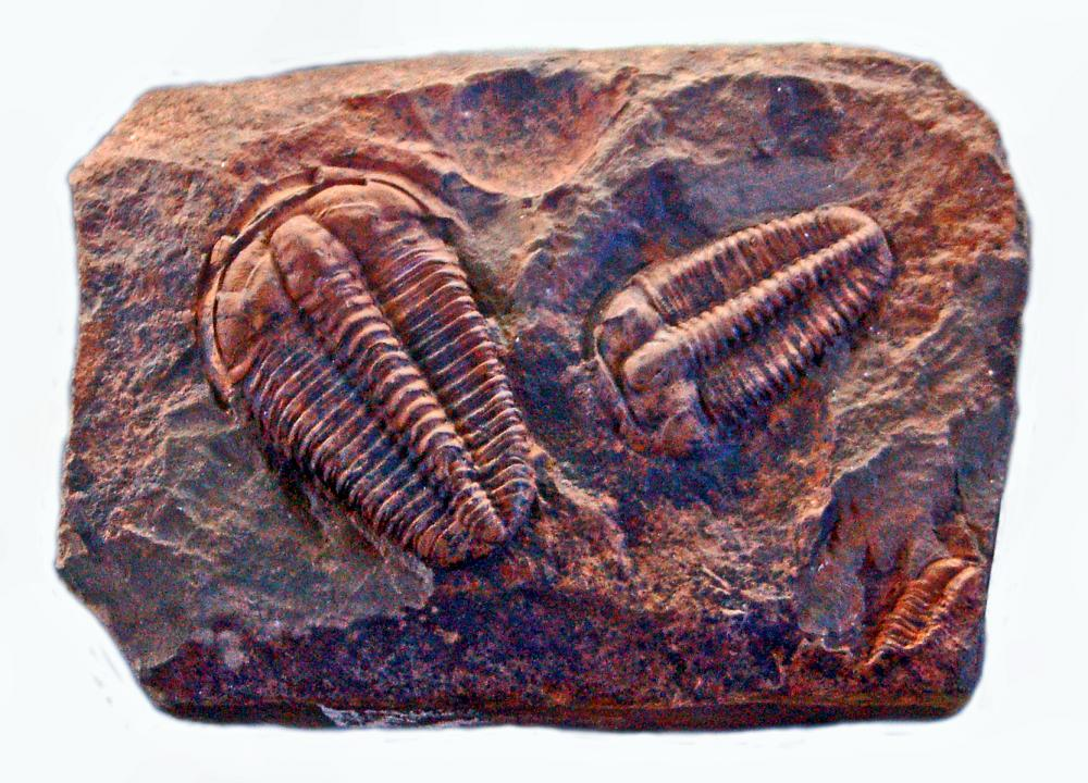 A relative of insects, trilobites lived on the ocean floor during the Cambrian period.