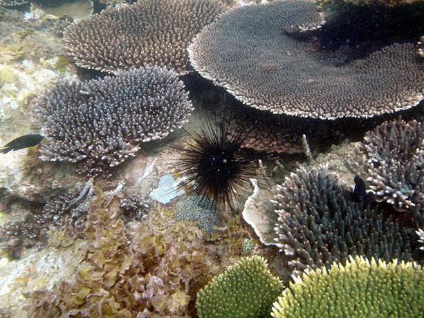 The coral reefs of Ujung Kulon National Park in Indonesia, a World Heritage site, are dominated by a small number of coral species and support some of the richest fish fauna in the Indonesian archipelago.