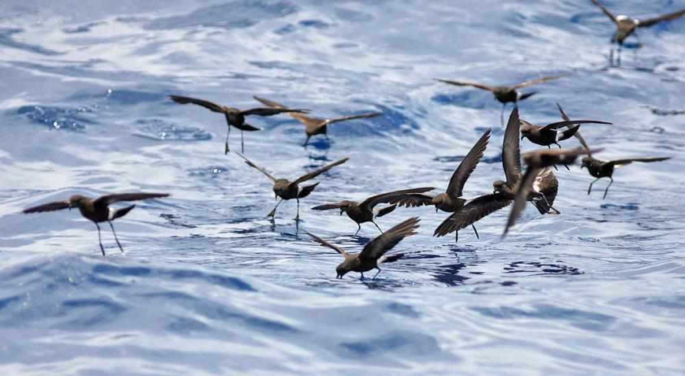 Wilson's Storm Petrels Patter Fishing