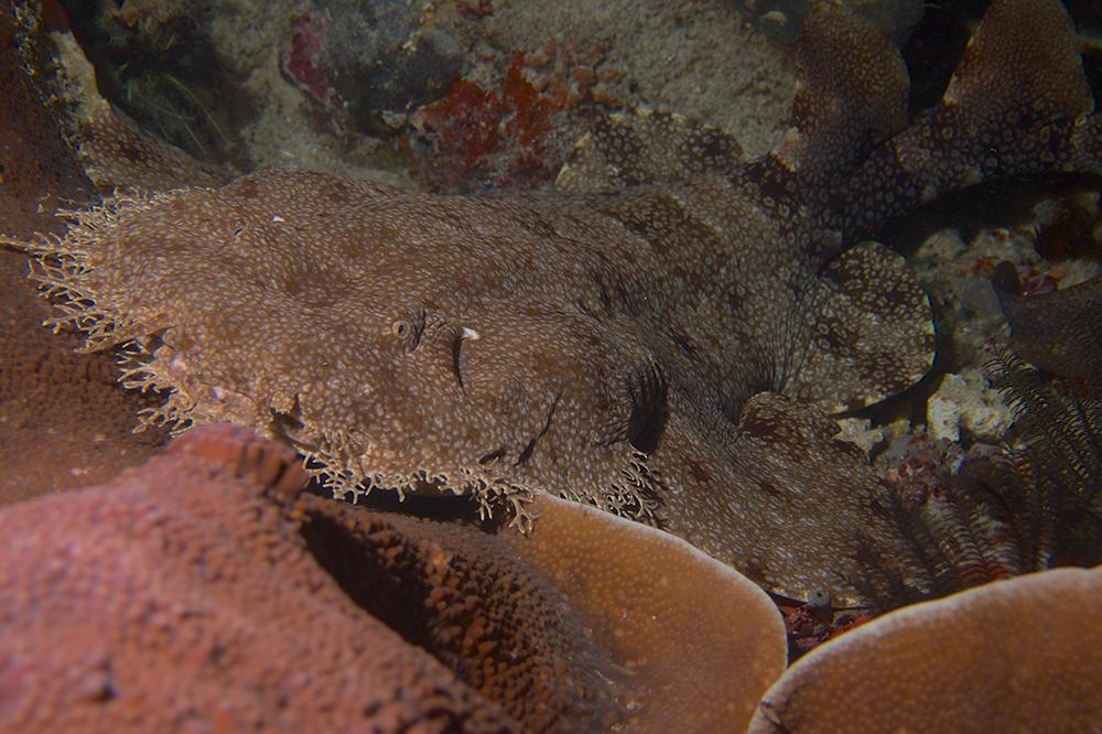 The tasseled wobbegong, has a fringe of dermal lobes around its entire head, each of which is elaborately branched.