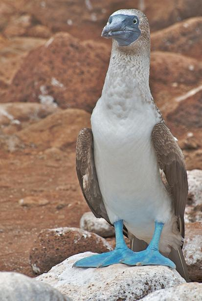 Close-up photograph of the face of a blue footed booby.