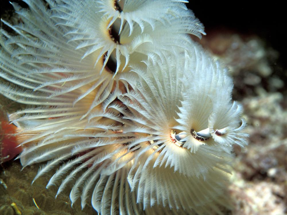 Christmas Tree Worm.White Christmas Tree Worm Smithsonian Ocean