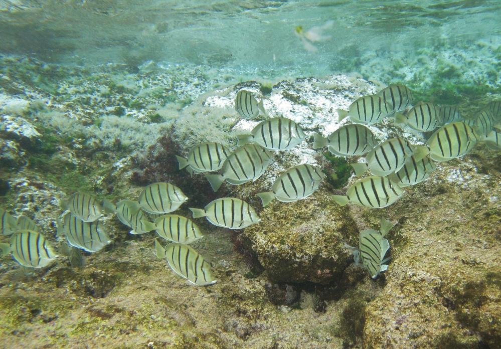 Convict surgeonfish are the roaming sheep of the reef but, instead of noshing on grass, they feed on algae.