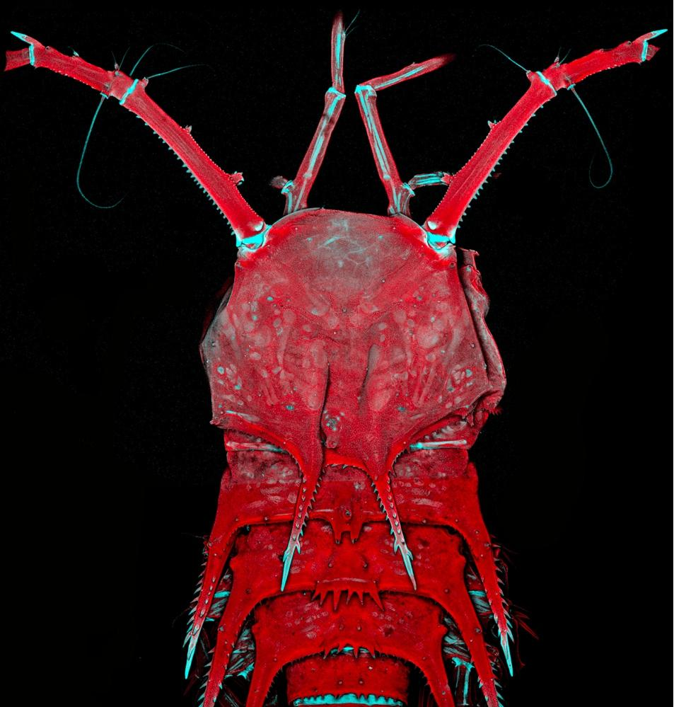 Deep-sea Copepod Head