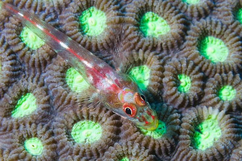 The toothy goby or common ghost goby (Pleurosicya mossambica) has a commensal relationship with soft corals and sponges in the Indo-Pacific ocean.