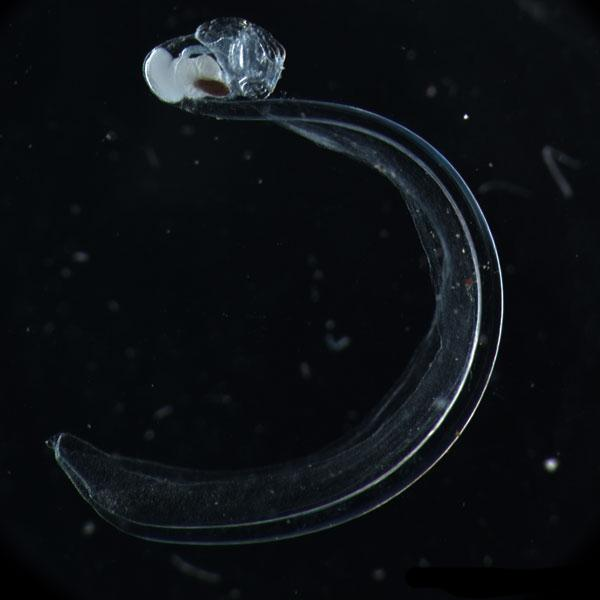 Oikopleura gorskyi is a rare deep-water species of larvacean