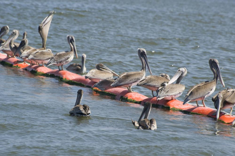 Pelicans gather at the Deepwater Horizon oil spill.