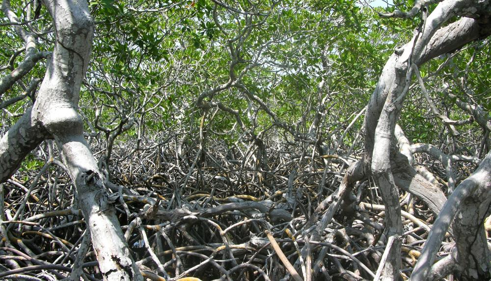 Mangrove roots create a strong but permeable barrier to waves and currents in Belize.