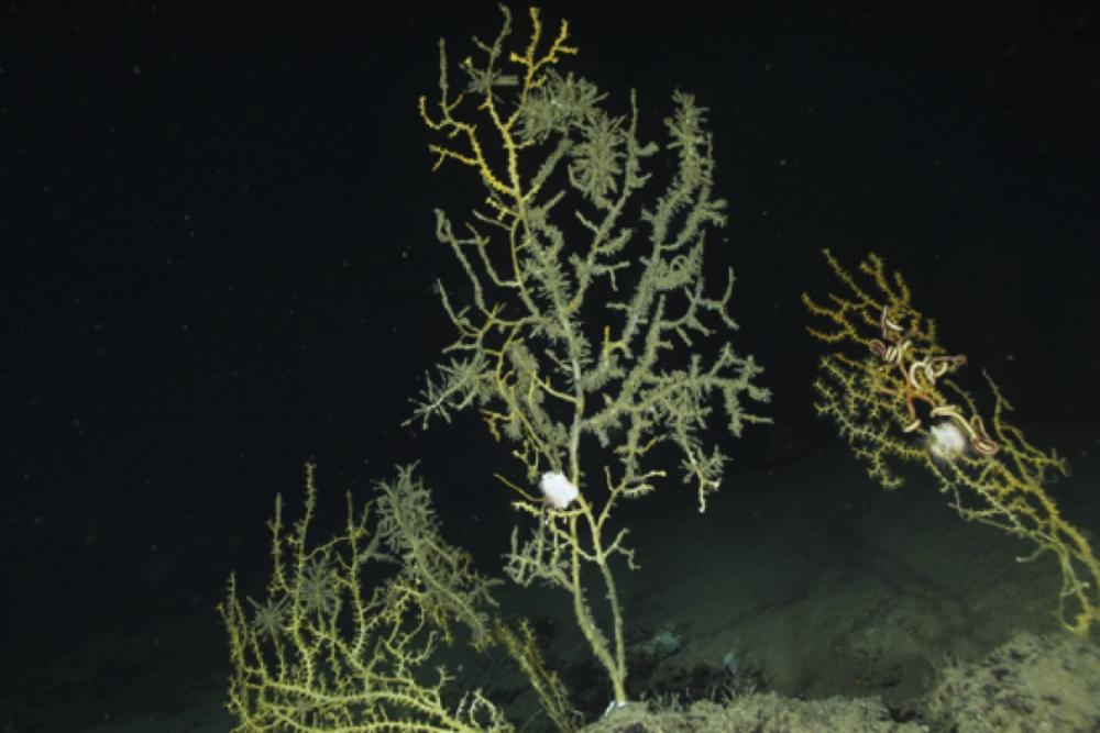 Two years after being covered in an oil substance, from the Deepwater Horizon oil spill in 2010, deep-sea corals were colonized by hydroids and their branches began to break off.