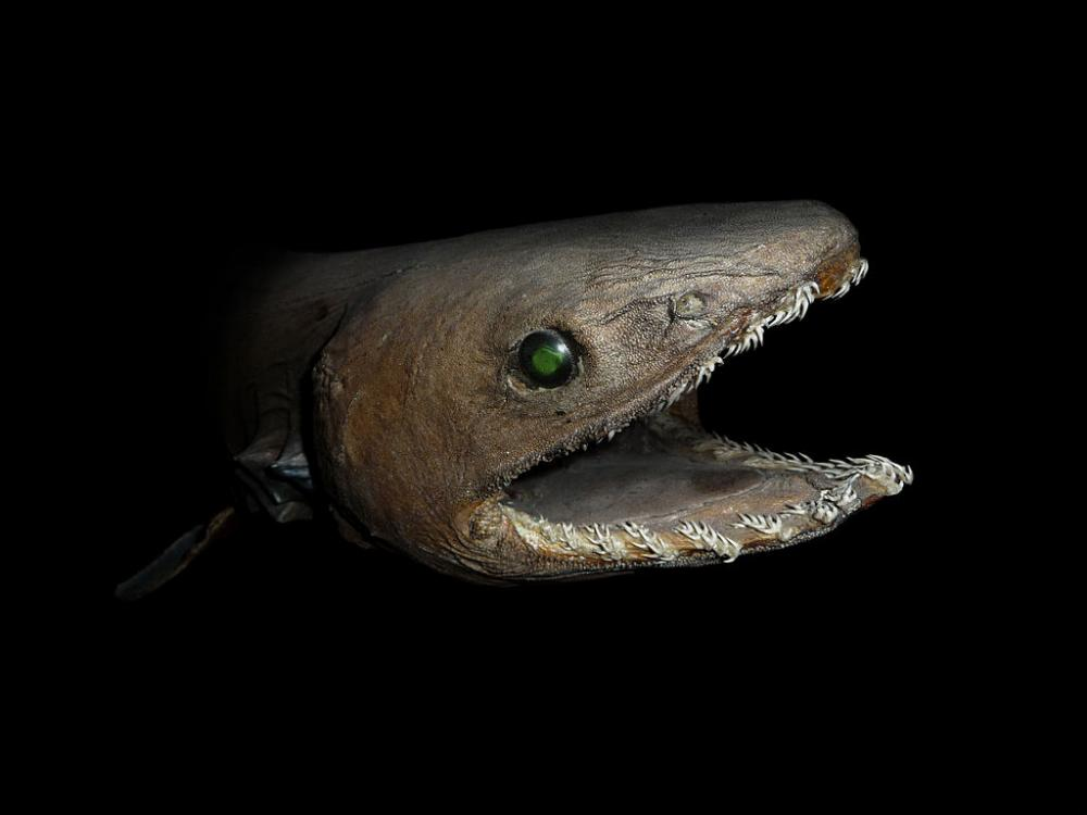 A strange looking frilled shark smiles at the camera.