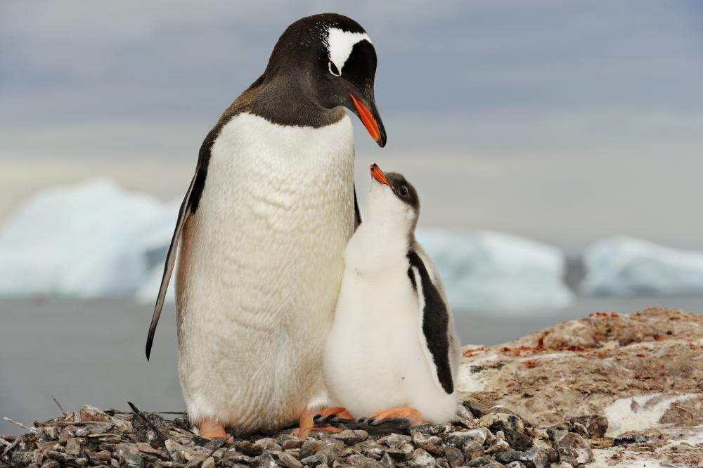 gentoo penguin fun facts