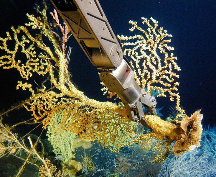 A submersible's robotic arm collects gold coral in the Hawaiian Islands. Similar specimens have been dated at more than 2,700 years old.
