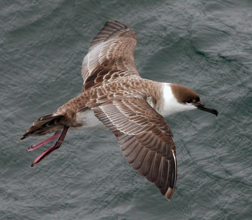 An 'austral' or southern breeder, Great Shearwaters (Ardenna gravis) migrate from breeding islands far to the south in the Atlantic before traveling to the Northern Atlantic to feed.