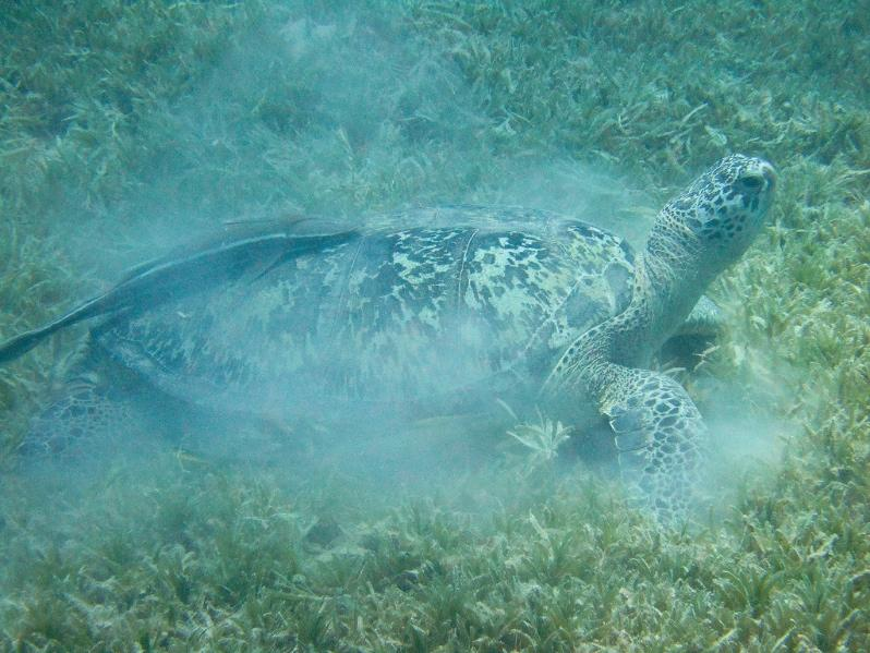 Adult green sea turtles spend most of their time grazing in seagrass meadows.