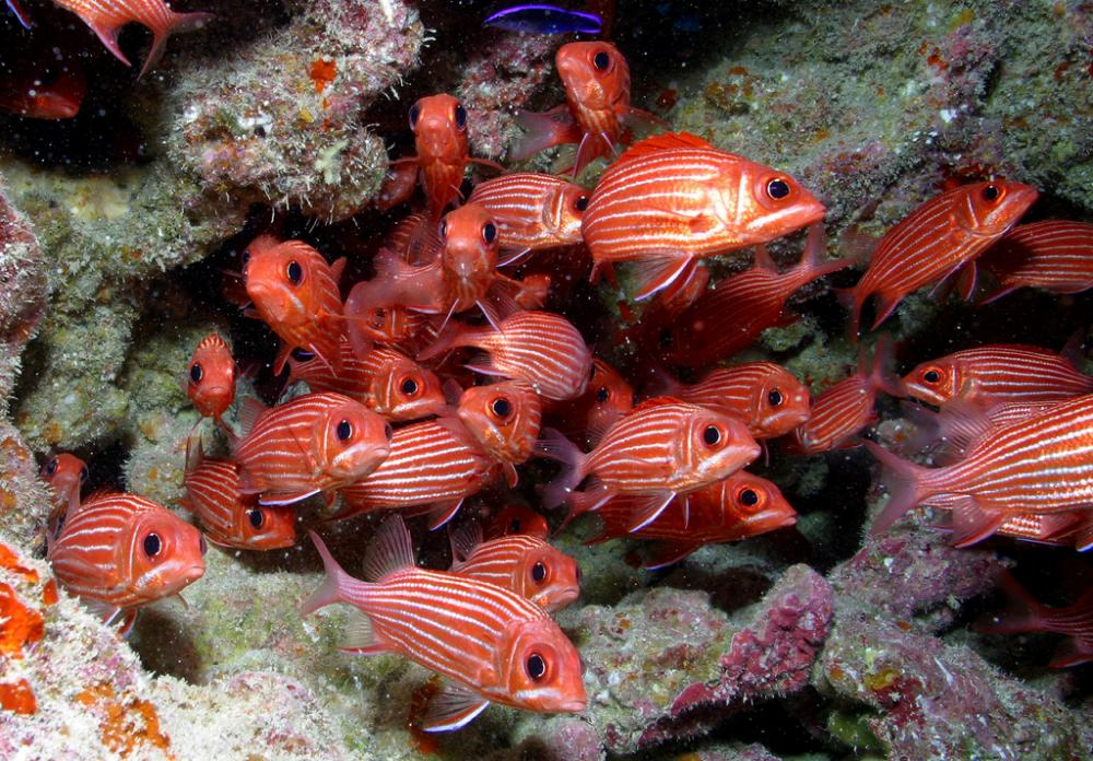 A school of Hawaiian squirrelfish.
