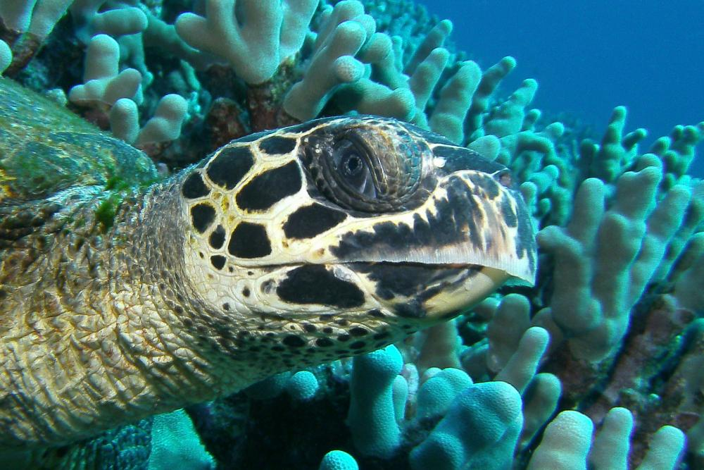 Hawksbill turtles (Eretmochelys imbricata) are small to medium-sized turtles, but can get as large as 200 lbs (91 kg). Adults live among healthy coral reef communities, feeding primarily on sponges, but they also eat other invertebrates like sea cucumbers,