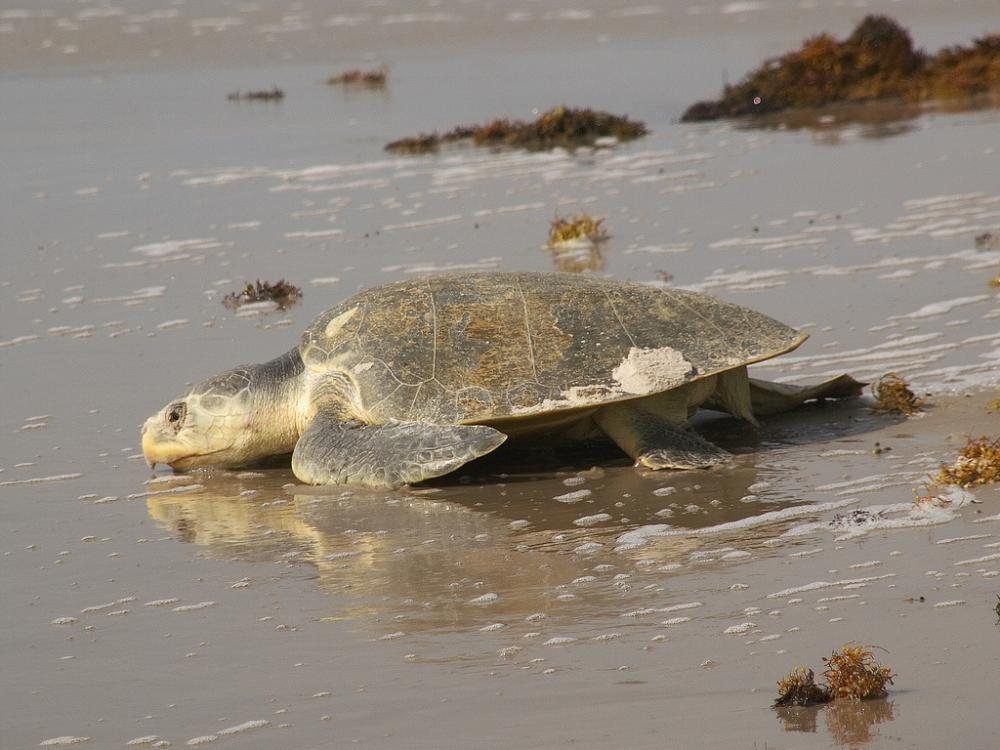 Kemp's ridley turtles (Lepidochelys kempii) are the smallest sea turtles, weighing only 100 lbs (45 kg). Adults spend most of their time in shallow coastal areas in places with mud, sand, or gravel bottoms—often in seagrass beds. They eat swimming crab