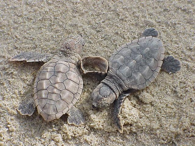 Loggerhead turtles (Caretta caretta) are named for their large heads and strong jaws, which allow them to eat prey with hard shells, like big marine snails. They live throughout the world's warm tropical and subtropical oceans. They live off-shore when t