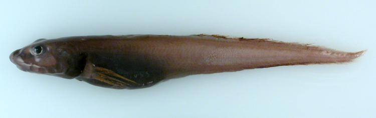 A small, brown eelpout fish.