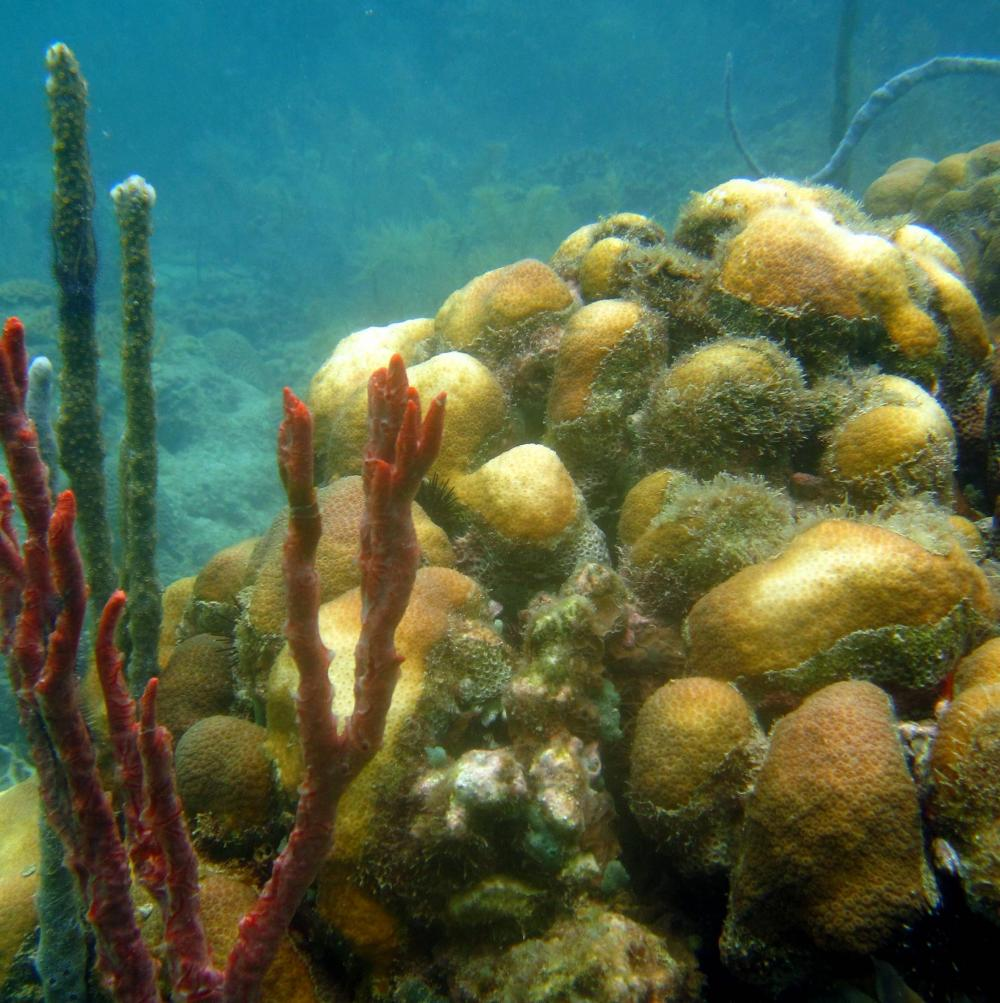 An underwater photo of coral recovering from a bleaching event.