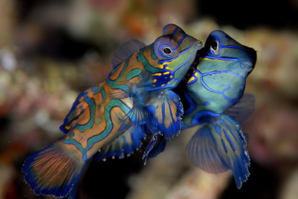 The mandarinfish lives in western Pacific tropical coral reef ecosystems and lacks the scales that are typically seen on bony fish.