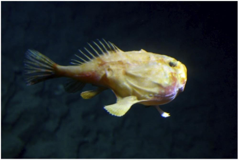 A photo of an anglerfish