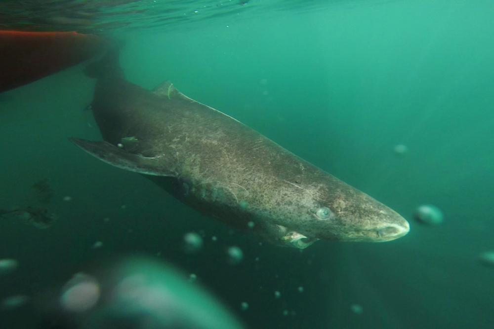 Greenland Shark in cold water
