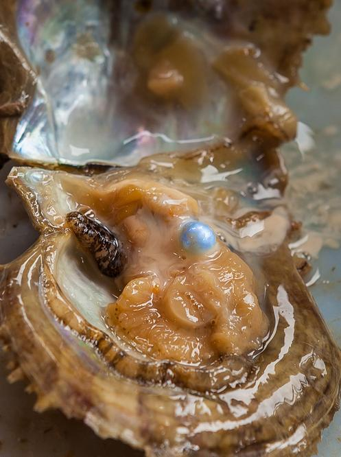 Pearl oysters create pearls when a hard particle is coated with calcium carbonate (nacre) after entering the oyster.