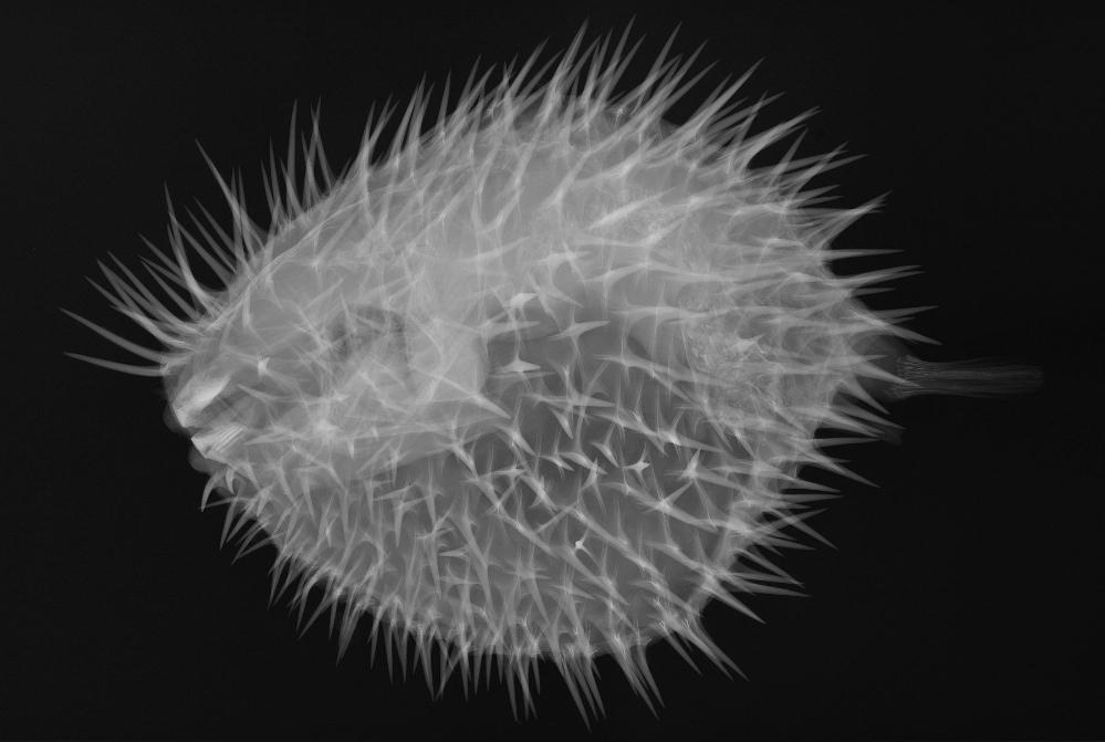 X-ray image of a long-spined porcupine fish