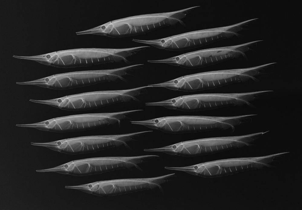 A school of grooved razorfish seen in x-ray imaging.