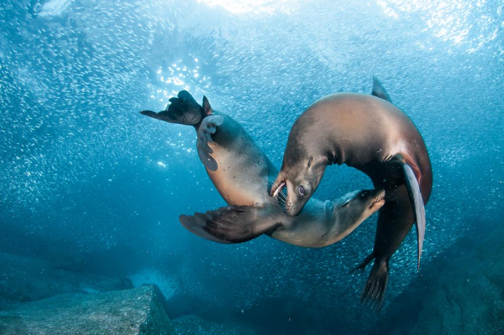 Two sea lions interact amongst schools of small fish.