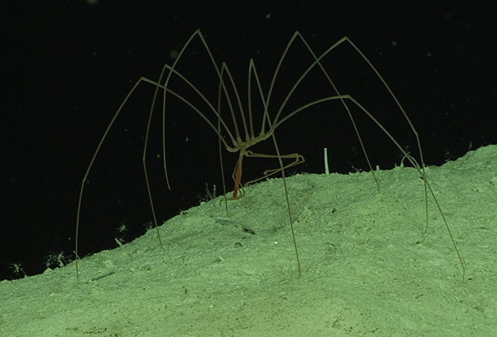 A sea spider walks on the ocean floor.