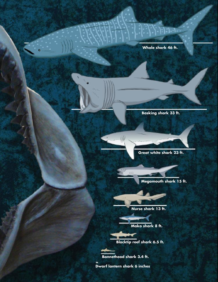What is the Biggest Shark? A Chart Shows the Diversity of