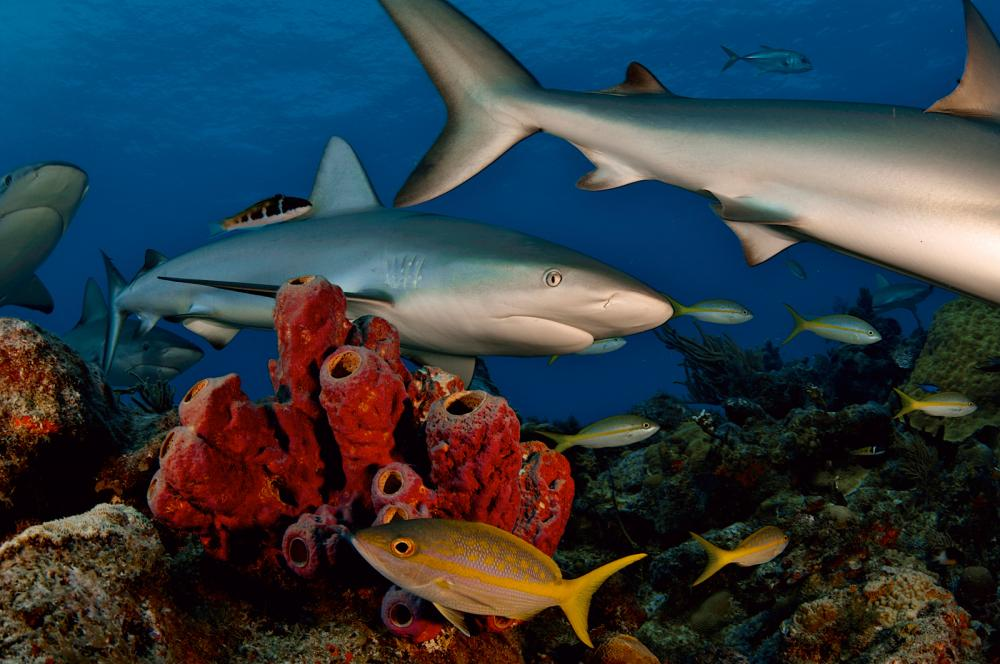 Caribbean reef sharks swim over a coral reef in the Bahamas.