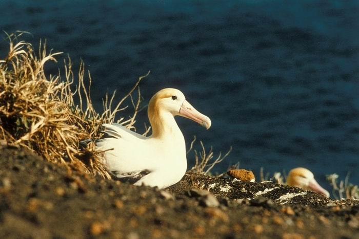 Shark Only 2000 Individuals Of The Endangered Shorttailed Albatross Remain After The Species Was Hunted Gvi Endangered Ocean Animals Smithsonian Ocean
