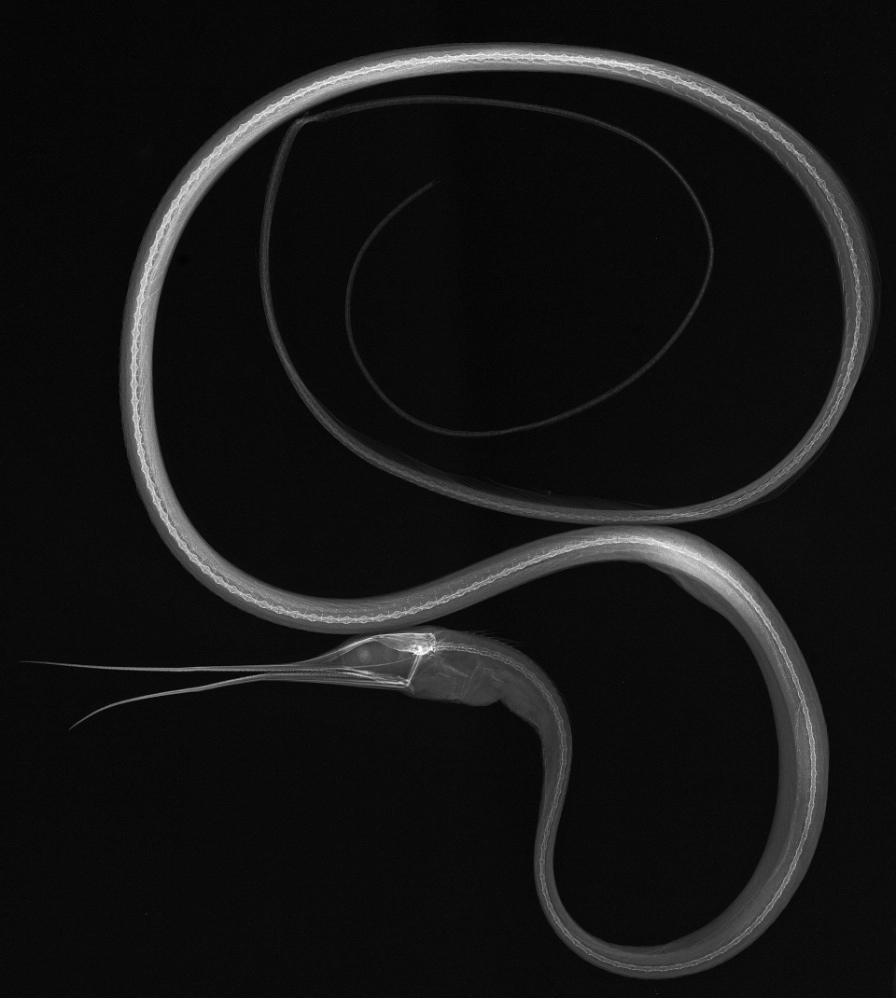 X-ray image of a slender snipe eel