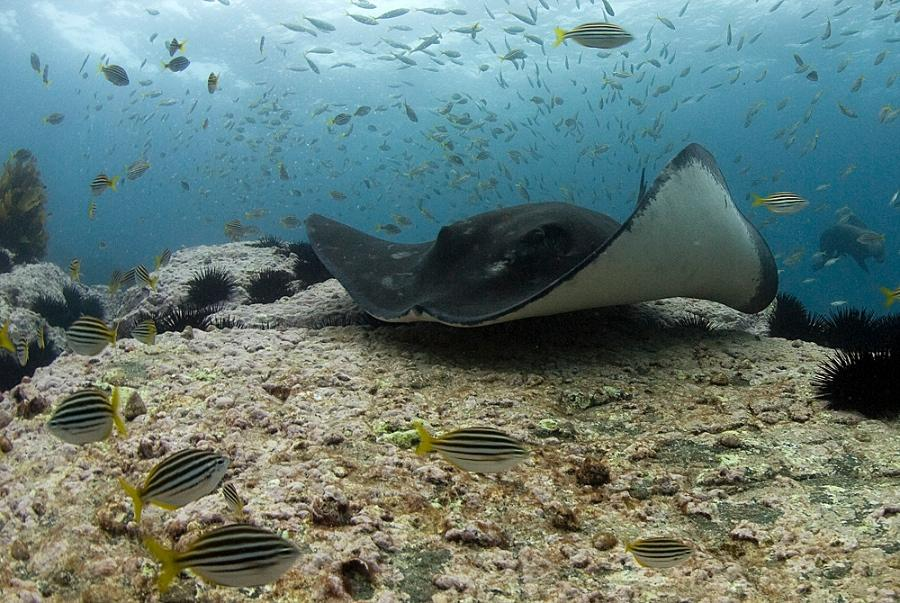A stingray swims in an Australian marine reserve.