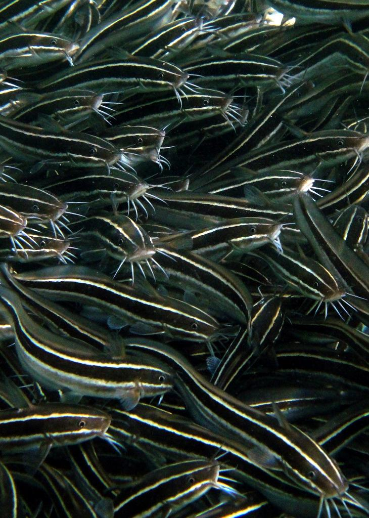 Striped eel catfish are the only species of catfish found in coral reefs.