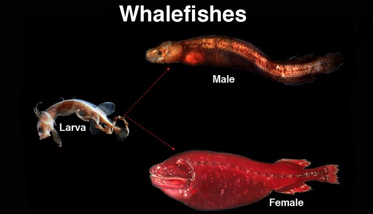 The tapetail is the larva of the family. It transforms into either a male (bignose) or female whalefish.