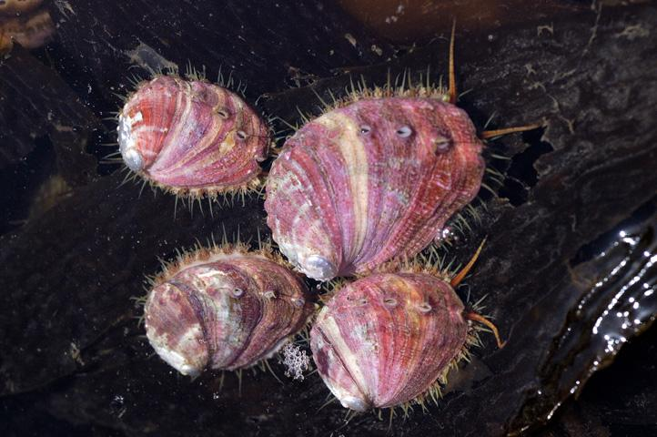 the black abalone an invertebrate report Invertebrates make up around 97 percent of the world's described species marine invertebrates are remarkably varied, ranging from the relatively simple common jellyfish to the more complex giant octopus.