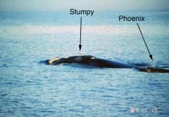 January 14, 1987: Phoenix is first spotted as she swims with her mother, Stumpy, off the coast of Georgia.