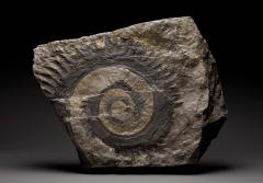 Fossil tooth whorl of ancient shark.
