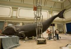 Workers prepare to hoist the model of Phoenix, a North Atlantic Right Whale, into position above the exhibit hall floor in the Smithsonian National Museum of Natural History in Washington, DC.