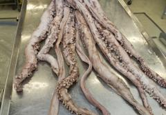 A female giant squid being prepared for display.
