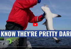 A screenshot from the video showing scientists holding a small shark preparing for tagging.